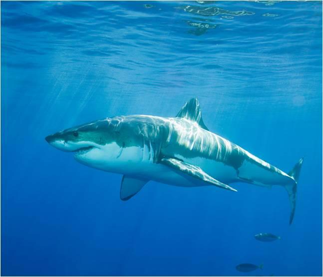 Invita un tiburon a tu tanque
